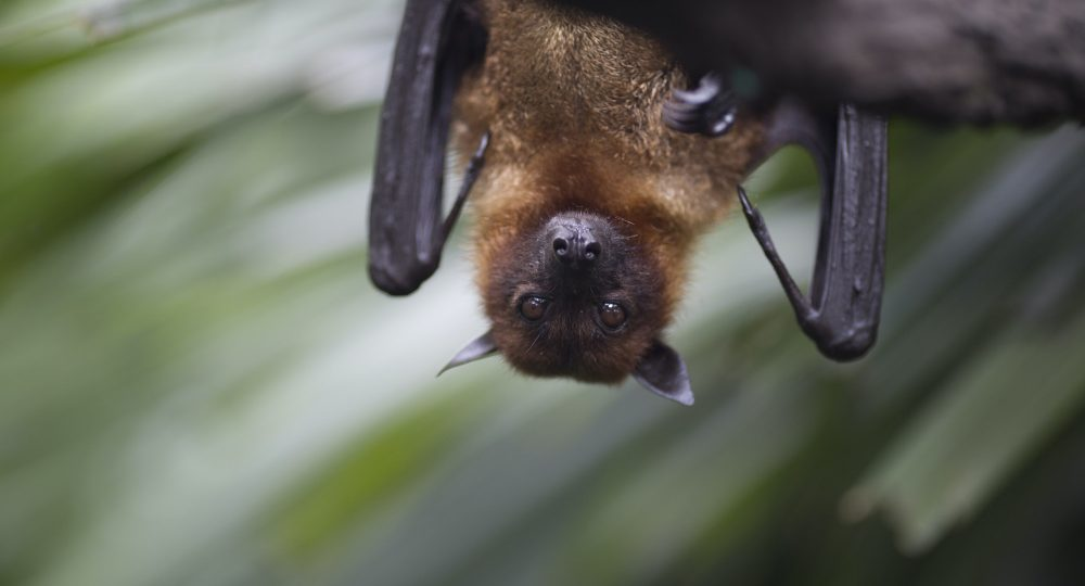 Close up of brown bat hanging upside down from a tree.