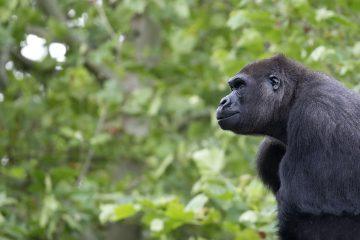Gorilla, a portrait